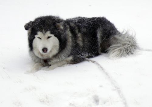 Emma-malamute_snow_3