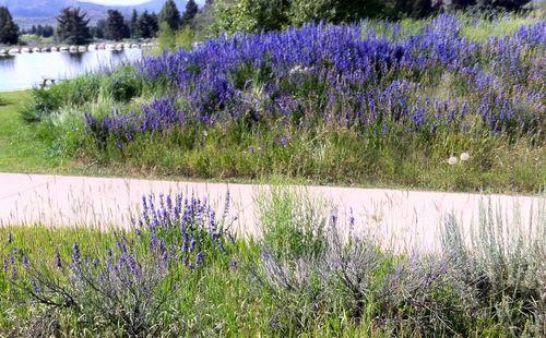 Aspen_wildflowers2