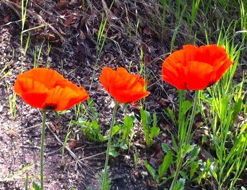Aspen_poppies