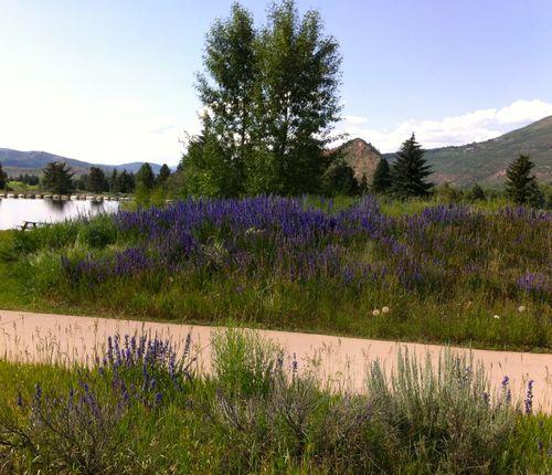 Aspen_wildflowers1